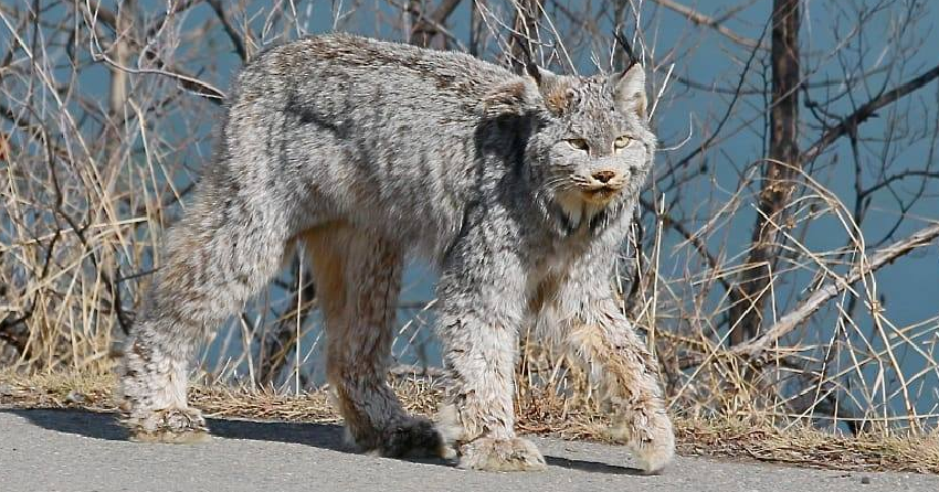 Kamloops woman captures breathtaking photos of lynx walking down city street