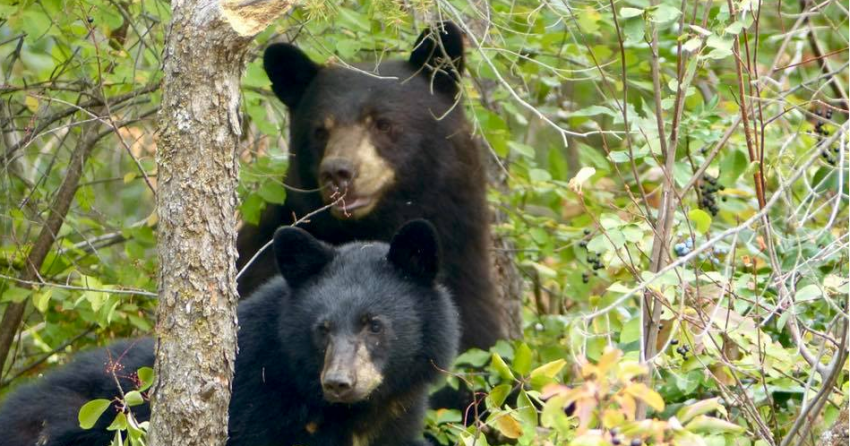 District warns residents after mama bear and 3 cubs spotted on Okanagan Rail Trail