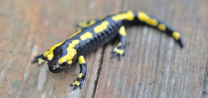 Salamanders Could Hold Key to Limb Regeneration in Humans