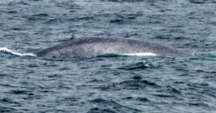 Incredibly rare blue whale sighting made in BC waters