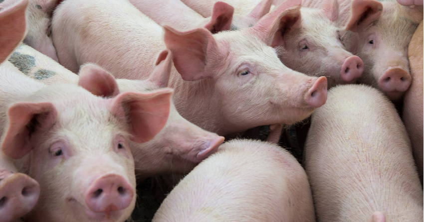 New swine flu strain with 'pandemic potential' identified in China