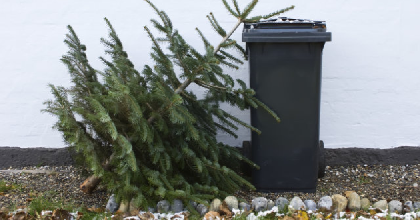 </who>To make sure your discarded Christmas tree is chipped for use in compost, deliver it to one of the Central Okanagan Regional District's five designated drop-off points.