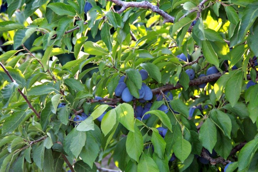 Harvest Guide For All Your Favourite Okanagan Fruit