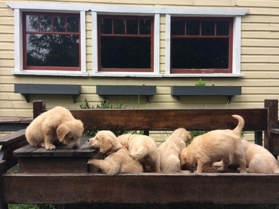 Forever homes needed for 11 orphaned golden retriever