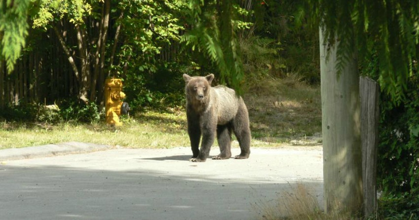 <who>Photo Credit: Conservation Officer Service</who> The female bear before being relocated, pictured in 2010.