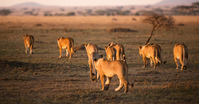 Poacher killed by elephant then eaten by lions