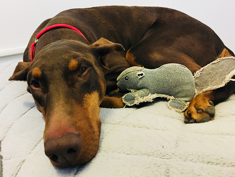 Alice the doberman looking for her foster paw-rents