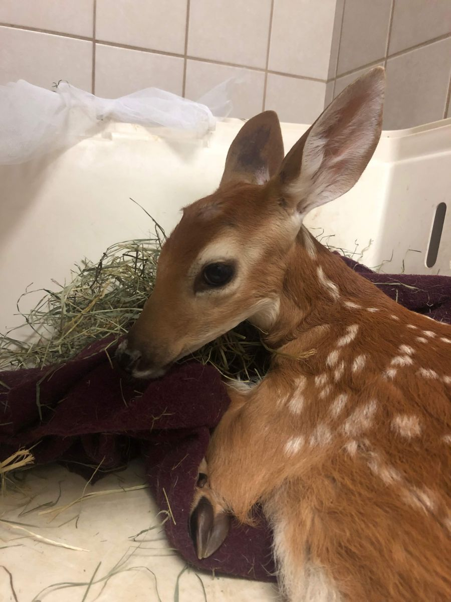 Okanagan vet desperately searching for sanctuary to save injured fawn