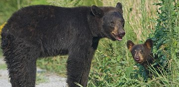 Bear cub killed during Whistler Ironman race