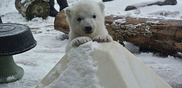 Baby Polar Bear Sees Snow for the First Time in Toronto