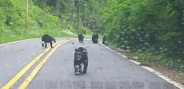 Bear family causes traffic jam in North Carolina