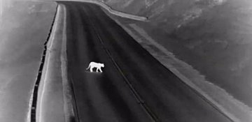 Just a cougar hanging out on a B.C. highway!