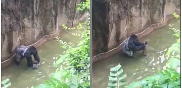 Gorilla killed after four-year-old enters zoo enclosure