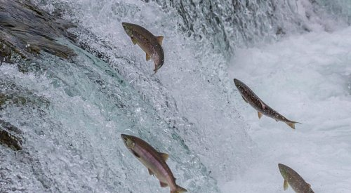 International study to track numbers and health of Pacific salmon given B.C. backing
